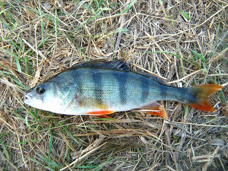 Sport fishing perch