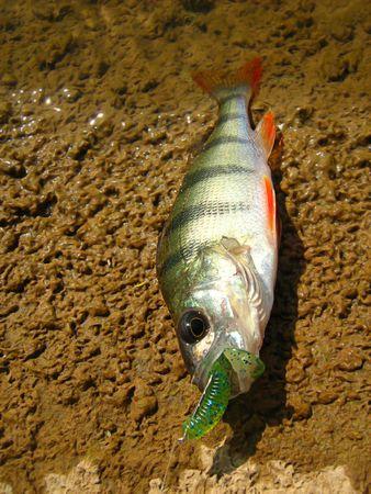 Sport fishing perch  photo