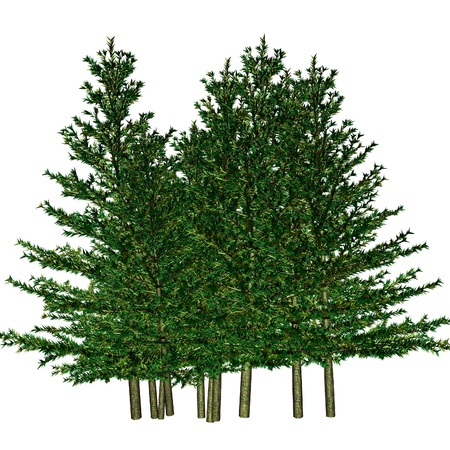 conifer: pine Stock Photo