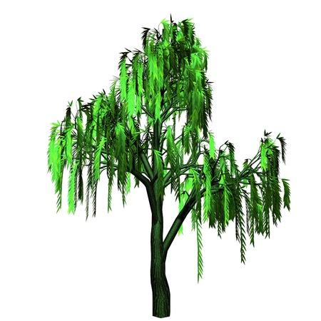 beautiful willow  photo
