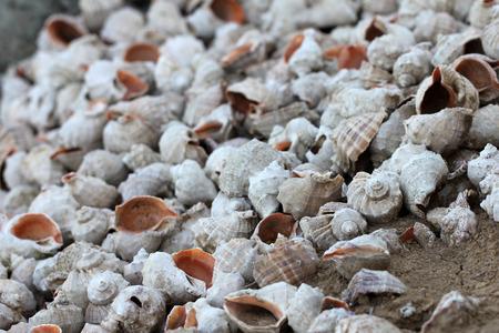 sea ??shell