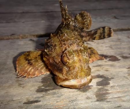 tenon: A predatory sea fish. Scorpaena porcus Stock Photo