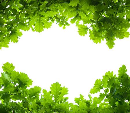カシの木の葉は分離 写真素材