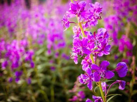 angustifolium: Chamerion angustifolium flowers