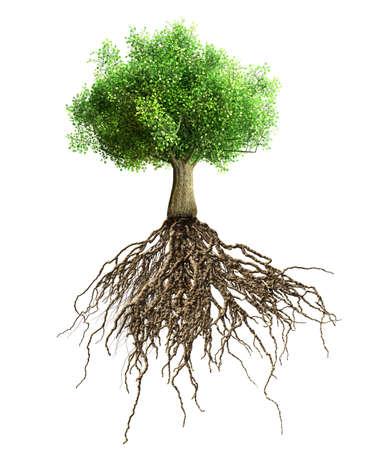 feuille arbre: arbre avec des racines isol�es