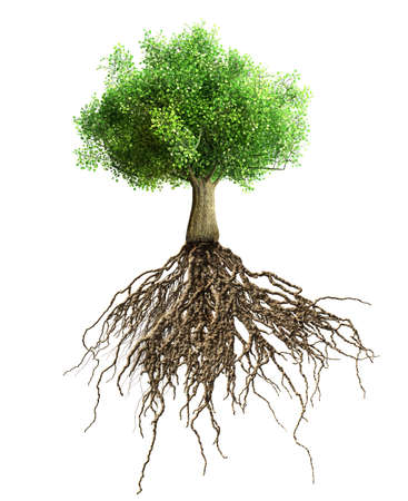 arbol con raices: árbol con raíces aisladas Foto de archivo
