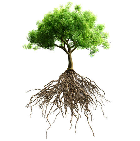 cultivation: tree with roots isolated