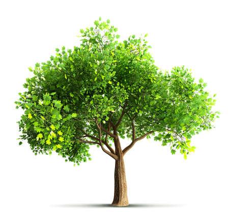 tree isolated: maple tree isolated