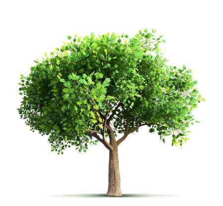 Ahornbaum isoliert