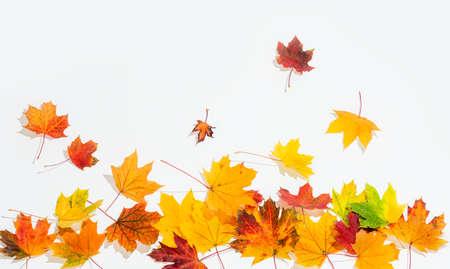 autumn colour: autumn leaves isolated