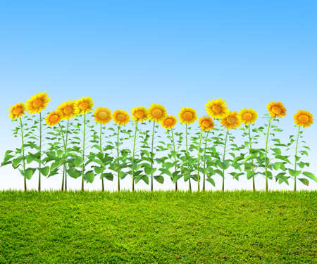 grass and sunflowers at backyard, spring background