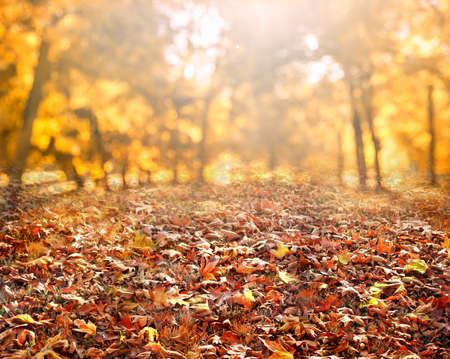 autumn leaves  background with sunbeams and maple leaves