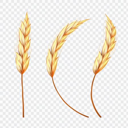 孤立した背景に小麦や米のリアルな耳のセット、ベクトルイラスト。