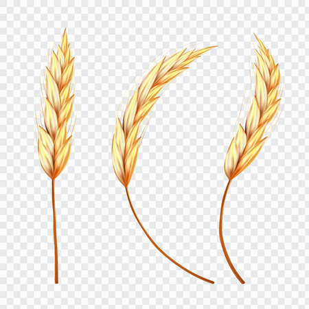 Set of Realistic Ear of Wheat or Rice on isolated background,vector illustration.