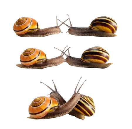slowly: Meeting of two snails with striped shells. Hug, a kiss, a concept.