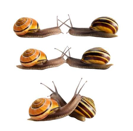 slowly: Reunión de dos caracoles con conchas rayadas. Abrazo, un beso, un concepto.