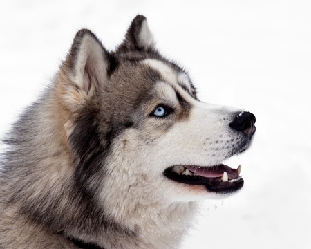 dog sled: Siberian Husky Dog