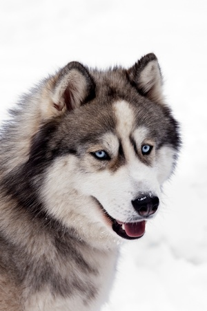 Siberian Husky Dog photo