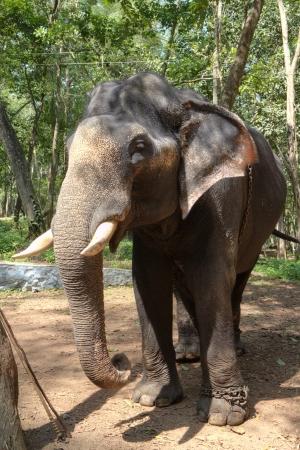 Indische Olifant ook wel Aziatische olifant - Elephas Maximus