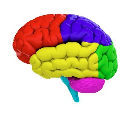 l�bulo: 3d del cerebro en el fondo blanco