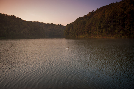 wilds: White swan and its swimming at the lake in Pang Ung national park of Mae Hong Son province Thailand