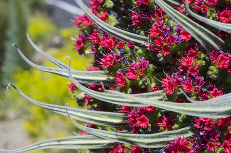 Close up of beautiful flower Tajinaste (Echium wildpretii) in Teide, Tenerife,  Spain.