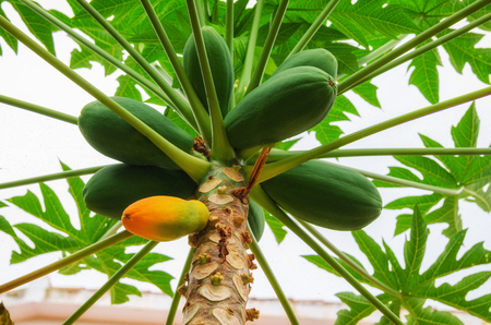 Group of green papaya and yellow papaya on tree in the tropical garden. Organic Fruit background.  View from below. Stock Photo