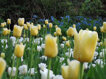 field of flowers with yellow tulips in the foreground, front tulip in focus