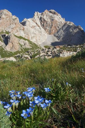 High-mountains flowers. Altitude about 3500 m. Sary-Beles massif. Kyrgyzstan