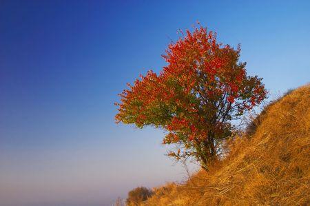 Wild apricot tree at autumn