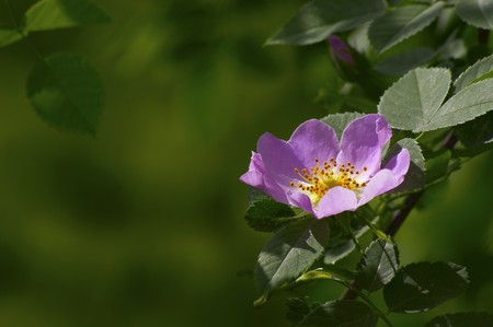 dog rose (Rosa Canina) on dark green Stock Photo