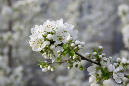 blossom of cherry tree