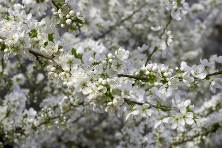 blossom of cherry tree