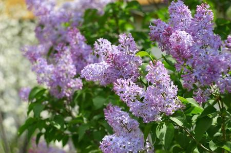 spring themes #2: blossom lilac tree Stock Photo