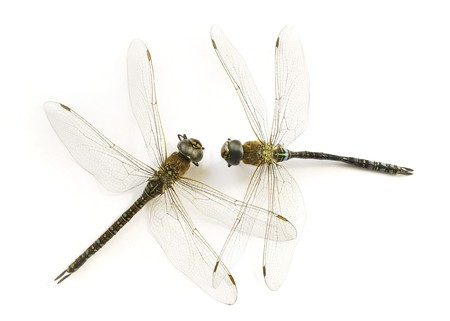 two dry dragonflies (Anisoptera)