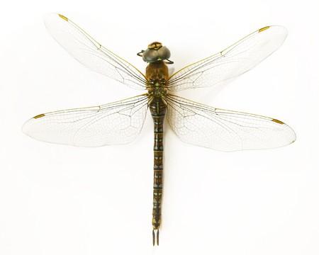 anisoptera: dragonfly (Anisoptera)