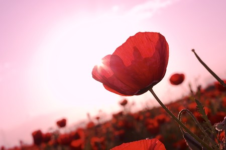 Pink theme: Field of blossom poppies