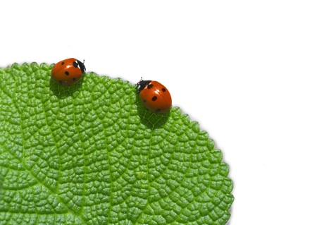 Two ladybird on green leaf. Coccinellidae Latreille Stock Photo