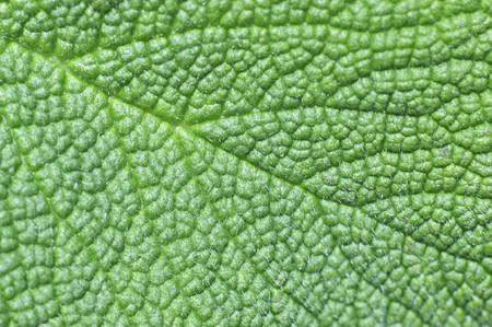 structure of a green leaf (macro) Stock Photo