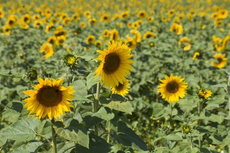 Some sunflowers in focus against a huge field