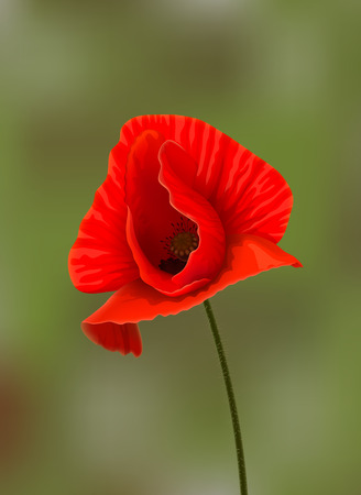 opium: Bright red poppy flower at stem on blurred green background. Background changing is available