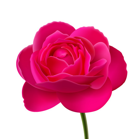 romance bed: Flower of pink rose on stalk, isolated on white background, background color changing is available
