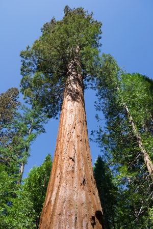 Giant sequoia in Yosemite National Park, California Stock Photo