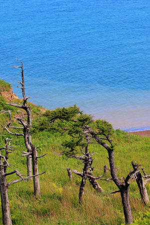 sakhalin: Curved pine trees on the seafront on the island of Sakhalin Stock Photo