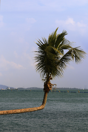 bent: the palm bent at a right angle by the sea