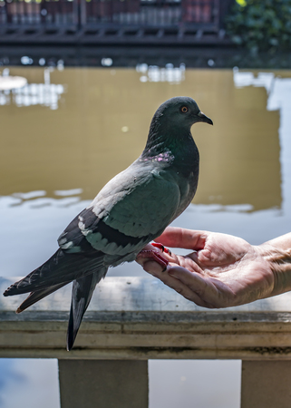 coexist: pigeon sitting on the palm of a human hand