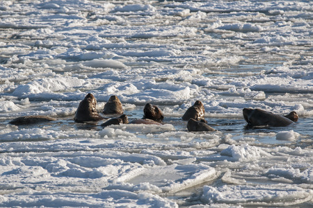 sea lion: sea lion family bathing in the sea Stock Photo
