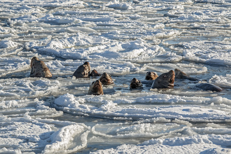 sea lion: sea lion swims between the ice floes with his harem