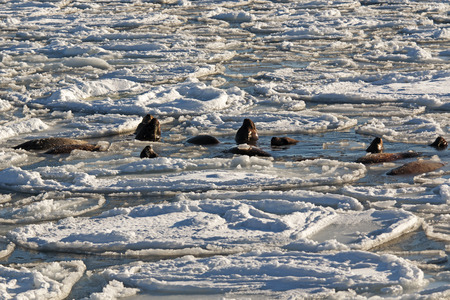 harem: sea lion swims between the ice floes with his harem