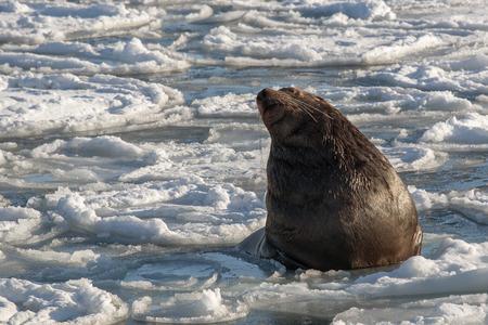 sea lion: Stellers sea lion among the frozen sea Stock Photo
